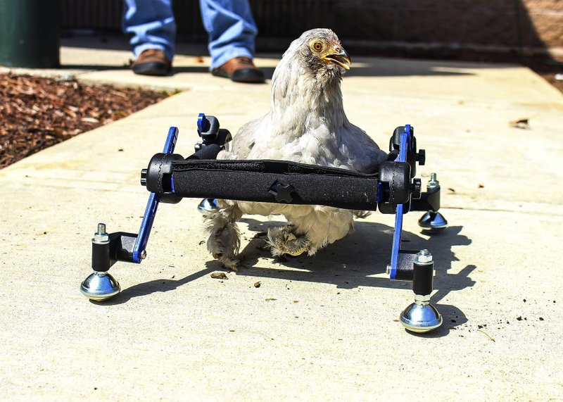 In this provided by Mikayla Feehan and taken on April 3, 2019, a pet chicken named Granite Heart tests out a custom wheelchair made by Walkin' Pets in Amherst, N. (Mikayla Feehan/Via AP)