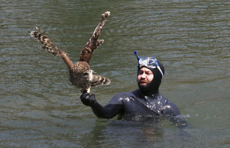 In this April 6, 2019 photo provided by Bill Hulsebus, a snorkeler, Jonathan Knapp holds a barred owl that was caught in fishing line in a tree at the Springfield Conservation Nature Center in Springfield, Mo. (Bill Hulsebus via AP)