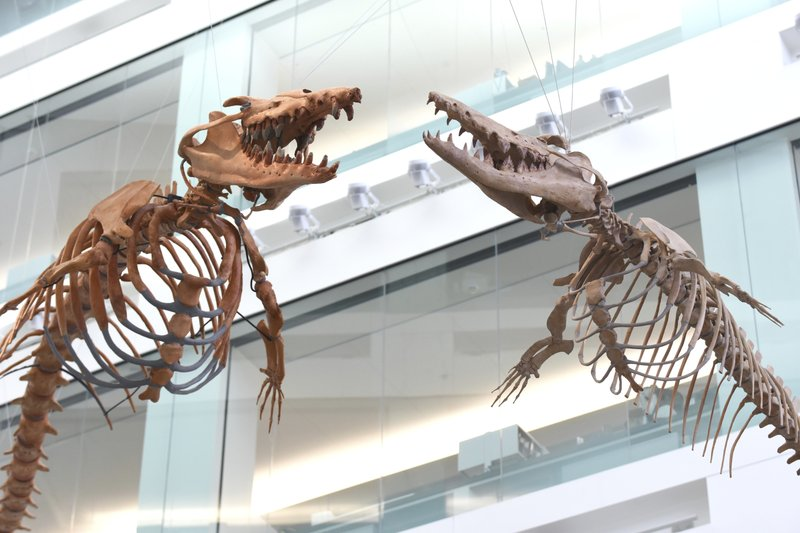 Massive prehistoric whale skeletons are displayed overhead at the entrance to the University of Michigan's Natural History Museum on Thursday, April, 11, 2019 in Ann Arbor. (Max Ortiz/Detroit News via AP)