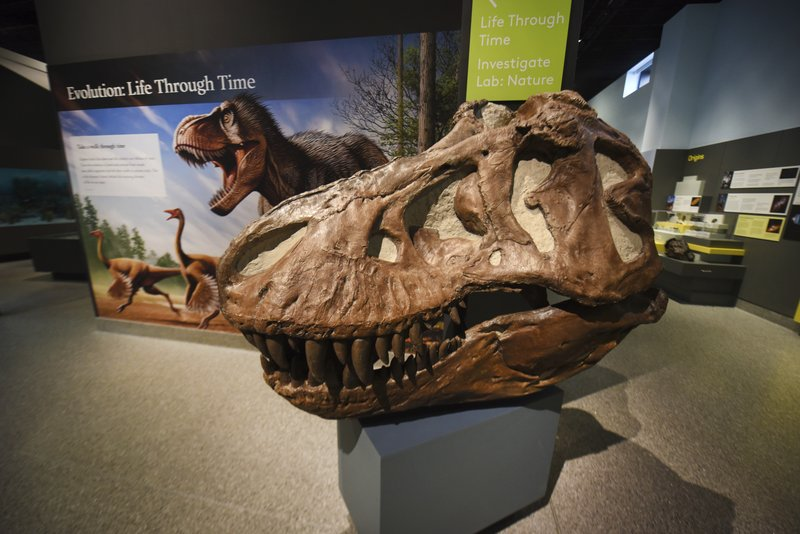 A tyrannosaur skull is seen at the entrance to the 'Evolution: Life through Time ' exhibit at the University of Michigan's Natural History Museum on Thursday, April, 11, 2019 in Ann Arbor. (Max Ortiz/Detroit News via AP)