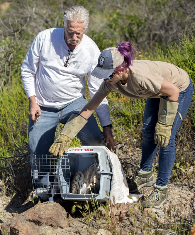 A bobcat is set back into the wild after getting run over by a police car two-months ago. The animal was cared for by Orange County's wildlife veterinarian, Scott Weldy, and his head technician Lauren Genger. (Mindy Schauer/The Orange County Register via AP)