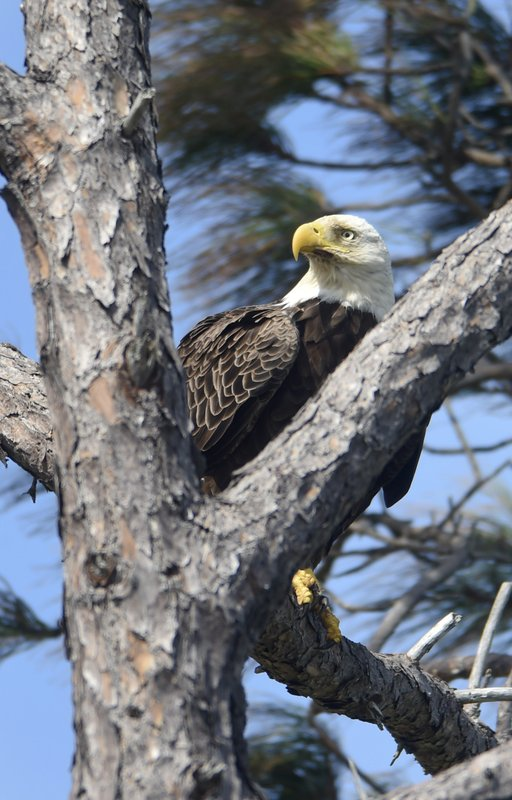 A bald eagle finds some respite from the wind while searching for food on Okaloosa Island near Fort Walton Beach, Florida in this photo from March 2017. (Devon Ravine/Northwest Florida Daily News via AP)