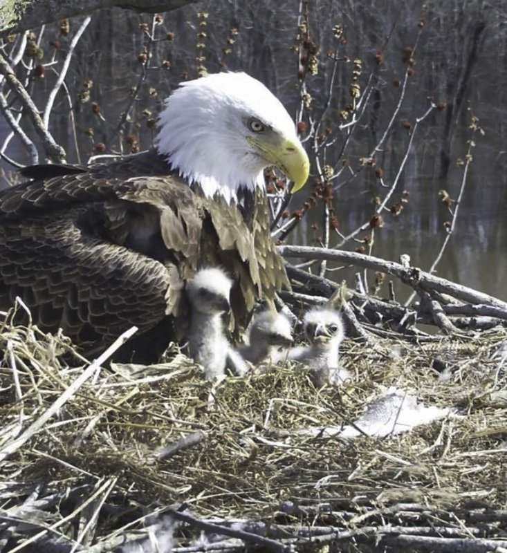In this April 6, 2019 still photo from video provided by the Stewards of Upper Mississippi River Refuge, in Thompson, Ill. (Stewards of Upper Mississippi River Refuge via AP)