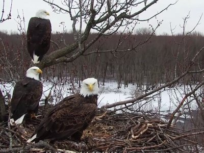 It's an example of eagle co-parenting on a nest in Illinois. Two males and one female bald eagle are caring for three eaglets born this month in a nest along the Upper Mississippi River near Fulton, Illinois. (April 15)