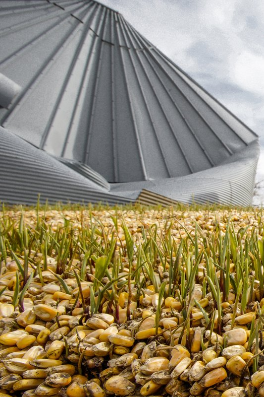 In this Wednesday, April 10, 2019 photo, corn seed begins to sprout after bursting out of a destroyed grain silo due to flooding on a farm in Bellevue, Neb. (AP Photo/Nati Harnik)
