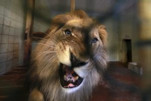 Animal welfare group and Albania quarrel over 3 lions' fate