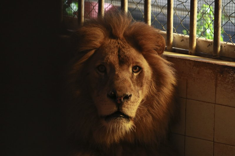 A lion sits in its cage at a zoo in Tirana, Thursday, April 18, 2019. An international animal welfare charity was locked in a spat Thursday with the Albanian government over three lions destined for a sanctuary in the Netherlands. (AP Photo/Hektor Pustina)