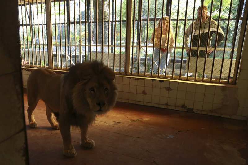 People watch a lion in its cage at a zoo in Tirana, Thursday, April 18, 2019. An international animal welfare charity was locked in a spat Thursday with the Albanian government over three lions destined for a sanctuary in the Netherlands. (AP Photo/Hektor Pustina)