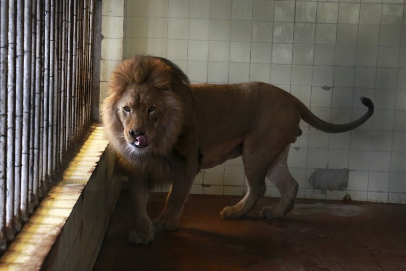 A lion walks in its cage at a zoo in Tirana, Thursday, April 18, 2019. An international animal welfare charity was locked in a spat Thursday with the Albanian government over three lions destined for a sanctuary in the Netherlands. (AP Photo/Hektor Pustina)