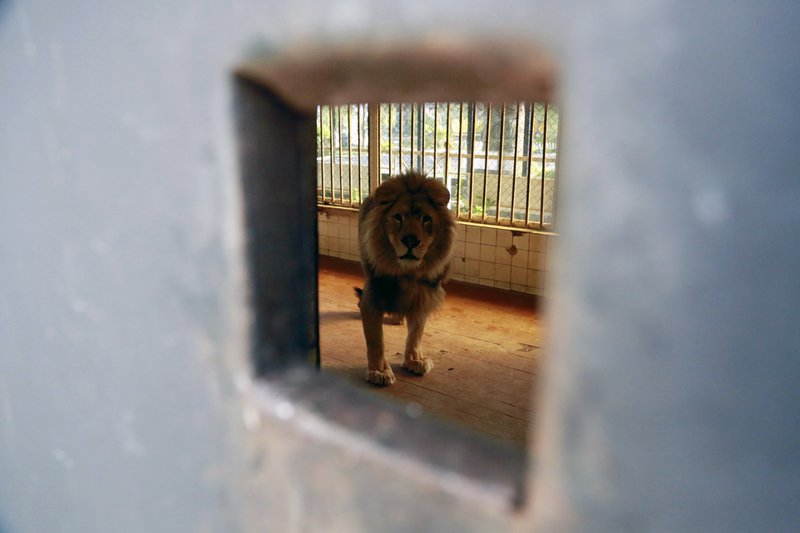 A lion stands in its cage at a zoo in Tirana, Thursday, April 18, 2019. An international animal welfare charity was locked in a spat Thursday with the Albanian government over three lions destined for a sanctuary in the Netherlands. (AP Photo/Hektor Pustina)
