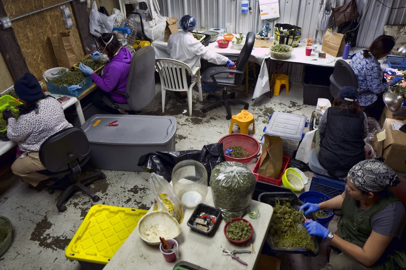 FILE - In this Thursday, April 4, 2019, file photo, a Cambodian cannabis worker trims marijuana flowers at Loving Kindness Farms in Gardena, Calif. (AP Photo/Richard Vogel, File)