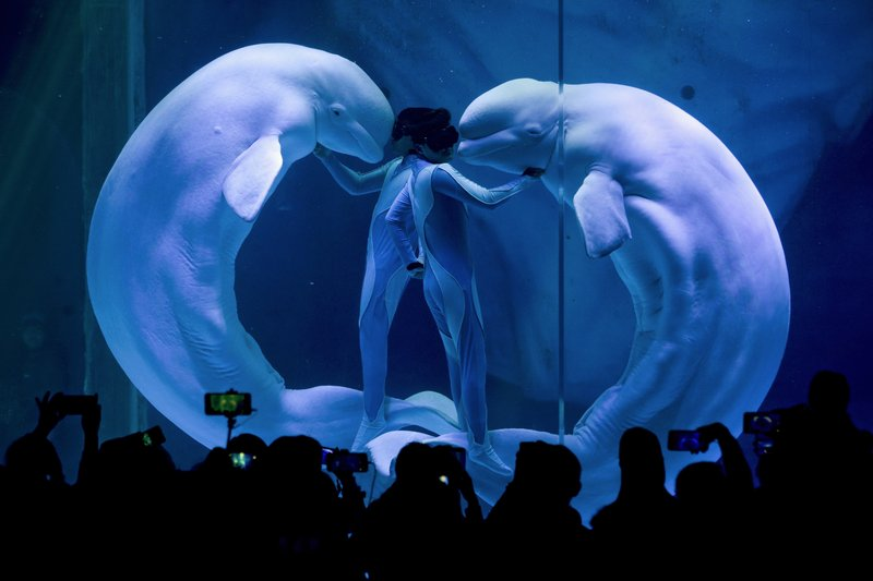 Visitors watch white whales make a heart shape with trainers during a show at Haichang Ocean Park in Shanghai, China on Monday, April 15, 2019. (AP Photo/Andy Wong, File)