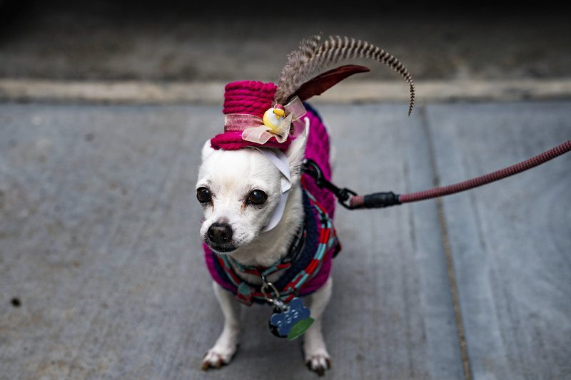 A dog is dressed in a costume during the Easter Parade and Bonnet Festival, Sunday, April 21, 2019, in New York. (AP Photo/Jeenah Moon)