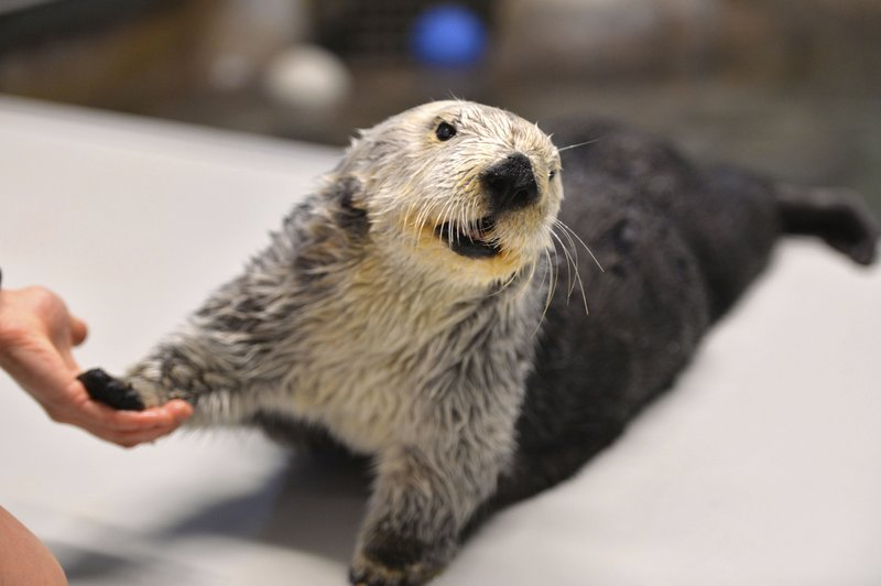 This March 2, 2018, photo shows Charlie the sea otter celebrating his 21st birthday at the Aquarium of the Pacific in Long Beach, Calif. (Brittany Murray/Orange County Register/SCNG via AP)