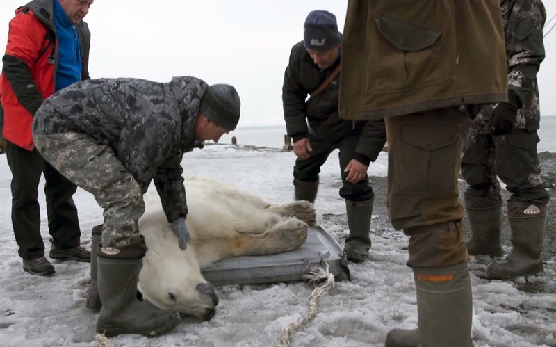 In this image made from video on Monday, April 22, 2019, rescue workers handle a polar bear that has been shot with a tranquilizer in the village of Tilichiki, about 936 kilometers (585 miles) north of Petropavlosk Kamchatsky, Russian Far East. (AP Photo)