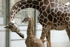 Omaha zoo asks for public's help naming newborn giraffe