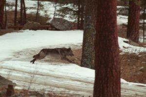 Federal appeals court overturns Idaho wolf-killing ruling