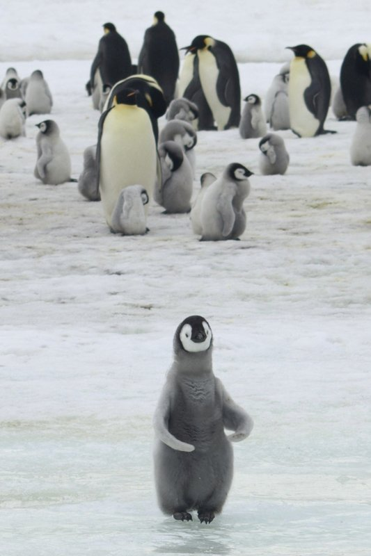 This 2010 photo provided by the British Antarctic Survey shows emperor penguins and chicks at Antarctica's Halley Bay. (Peter Fretwell/British Antarctic Survey via AP)