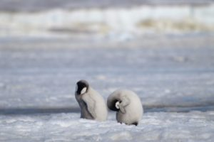 Major emperor penguin breeding ground gone barren since 2016