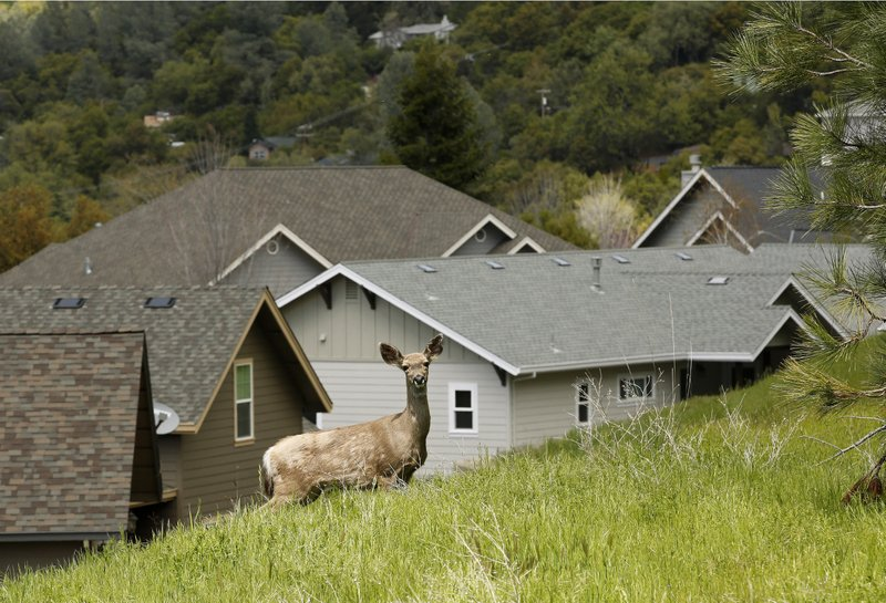 In this April 17, 2019, photo, a deer wonders past homes overlooking the Gold Rush community of Sonora, Calif. (AP Photo/Rich Pedroncelli)