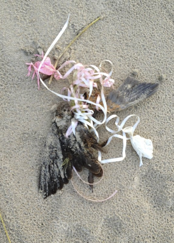 In this Nov. 21, 2012 photo provided by David Gurniewicz, a dead bird lays entangled with a cord attached to the remains of a pink balloon on the shore of Lake Michigan at Indiana Dunes National Park in Porter, Ind. (David Gurniewicz via AP)