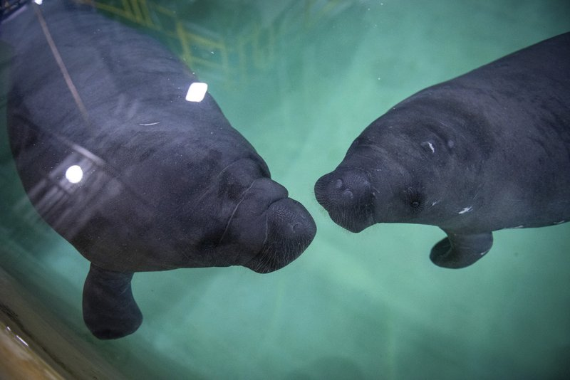In this Thursday, April 25, 2019 photo provided by the Columbus Zoo and Aquarium manatees Bananatee and Tostone swim at the zoo in Columbus, Ohio. (Grahm S. Jones/Columbus Zoo and Aquarium via AP)