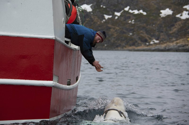 Norwegian fisherman Joar Hesten tries to attract a beluga whale swimming next to his boat before the Norwegian fishermen were able to removed the tight harness, off the northern Norwegian coast Friday, April 26, 2019. (Joergen Ree Wiig/Norwegian Direcorate of Fisheries Sea Surveillance Unit via AP)