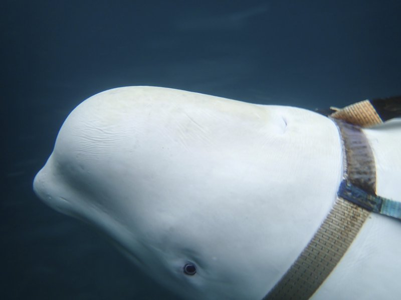 A beluga whale seen as it swims next to a fishing boat before Norwegian fishermen removed the tight harness, swimming off the northern Norwegian coast Friday, April 26, 2019. (Joergen Ree Wiig/Norwegian Direcorate of Fisheries Sea Surveillance Unit via AP)