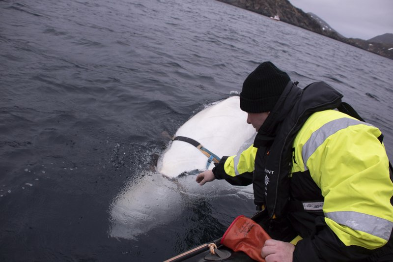 Joergen Ree Wiig tries to reach the harness attached to a beluga whale before the Norwegian fishermen were able to removed the tight harness, off the northern Norwegian coast Friday, April 26, 2019. (Joergen Ree Wiig/Norwegian Direcorate of Fisheries Sea Surveillance Unit via AP)
