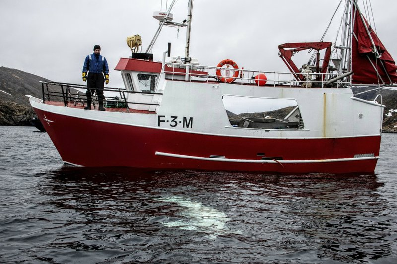 Norwegian fisherman observes a beluga whale swimming below his boat before the Norwegian fishermen were able to removed the tight harness, off the northern Norwegian coast Friday, April 26, 2019. (Joergen Ree Wiig/Norwegian Direcorate of Fisheries Sea Surveillance Unit via AP)