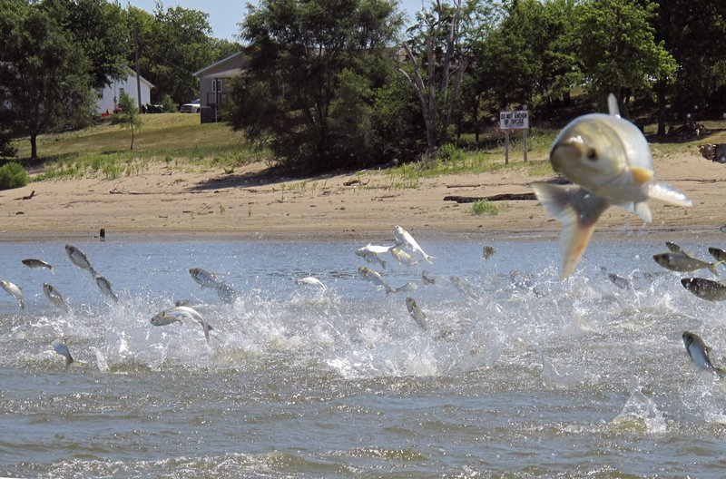 FILE - In this June 13, 2012, file photo, Asian carp, jolted by an electric current from a research boat, jump from the Illinois River near Havana, Ill. (AP Photo/John Flesher, File)