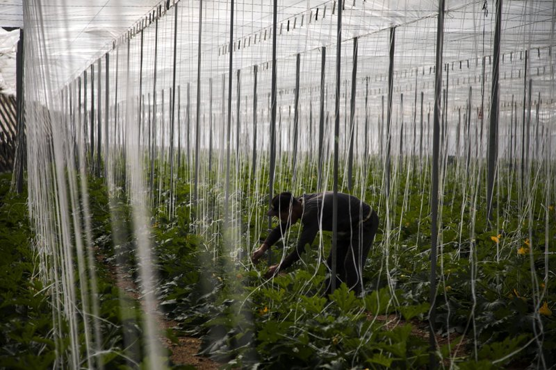 FILE - In this Saturday, March 2, 2019 file photo, a Moroccan worker collects cucumbers in a greenhouse in El Ejido, a municipality of Almeria province, in the autonomous community of Andalusia, Spain. (AP Photo/Emilio Morenatti, File)