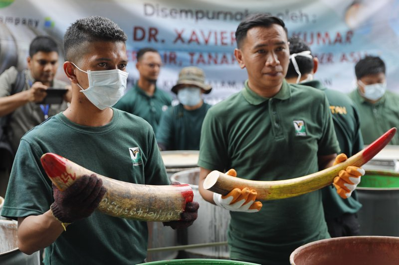 Staff at a government waste management facility display seized ivory tusks before destroying them Tuesday, April 30, 2019, outside Seremban, Malaysia. Malaysia has destroyed nearly four tons of elephant tusks and ivory products as part of its fight against the illegal ivory trade. (AP Photo/Vincent Thian)