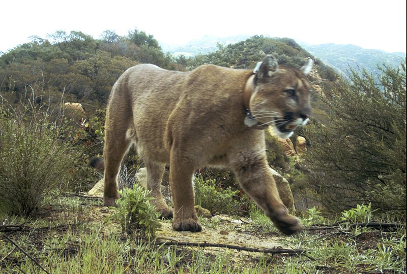This Feb. 14, 2019, photo provided by the National Park Service shows a mountain lion known as P-47 in the Santa Monica Mountains National Recreation Area west of Los Angeles. P-47 had no visible wounds when it was found dead March 21, 2019, but authorities say he had rat poison in his system. It's unclear if that caused the death. Researchers say P-47 may have eaten a squirrel or other animal that ingested the poison, or snacked on a coyote or other predator that ate tainted prey. (National Park Service via AP)