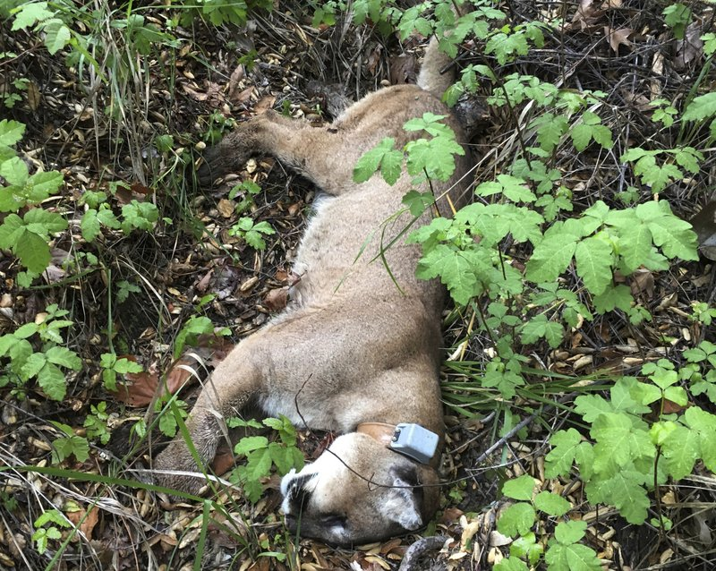 This March 21, 2019 photo provided by the National Park Service shows a mountain lion known as P-47 when it was found dead in the Santa Monica Mountains National Recreation Area west of Los Angeles. P-47 had no visible wounds when he was found, but authorities say he had rat poison in his system. It's unclear if that caused the death. Researchers say P-47 may have eaten a squirrel or other animal that ingested the poison, or snacked on a coyote or other predator that ate tainted prey. (National Park Service via AP)