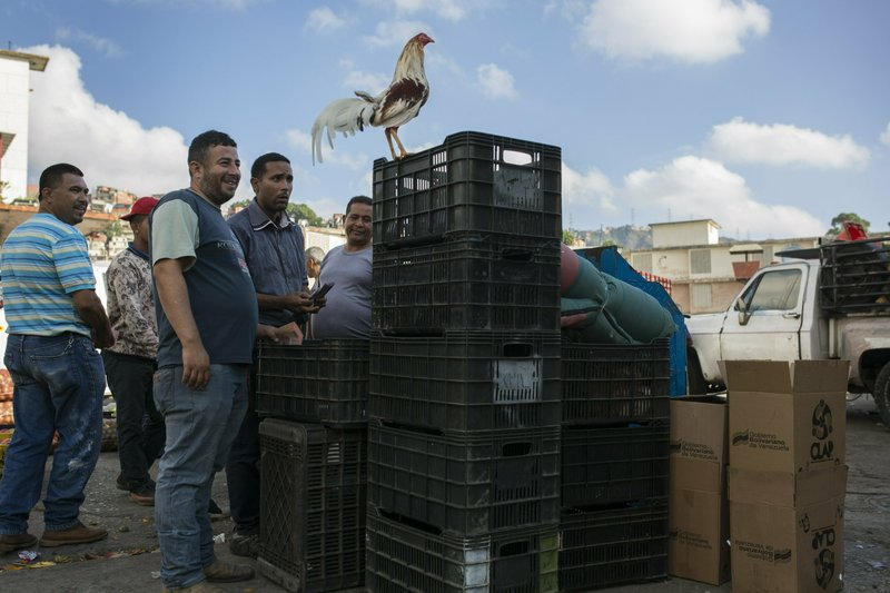 Vegetable vendors gather to discuss their prices as a pet rooster perches on a crate at the Coche Market in Caracas, Venezuela, Thursday, May 2, 2019. Political talk on most Venezuelans' minds was pushed aside at the market to make room for haggling over the best price for their merchandise. (AP Photo/Rodrigo Abd)