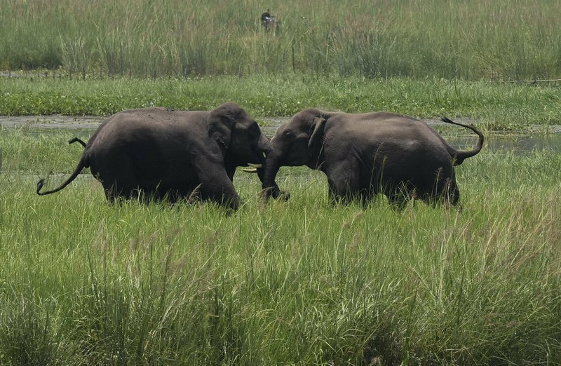 FILE - In this June 7, 2017, file photo, two wild elephants, part of a herd that arrived at a wetland near the Thakurkuchi railway station engage in a tussle on the outskirts of Gauhati, Assam, India. (AP Photo/ Anupam Nath, File)