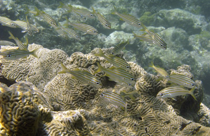 FILE - In this Aug. 30, 2008, file photo, fish swim next to a coral reef at Cayo de Agua in archipelago Los Roques, Venezuela. (AP Photo/Fernando Llano, File)
