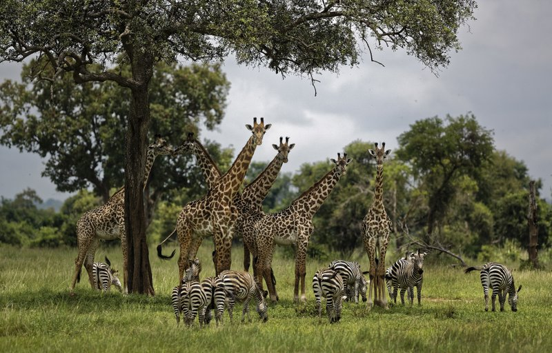 FILE - In this March 20, 2018, file photo, giraffes and zebras congregate under the shade of a tree in the afternoon in Mikumi National Park, Tanzania. (AP Photo/Ben Curtis, File)