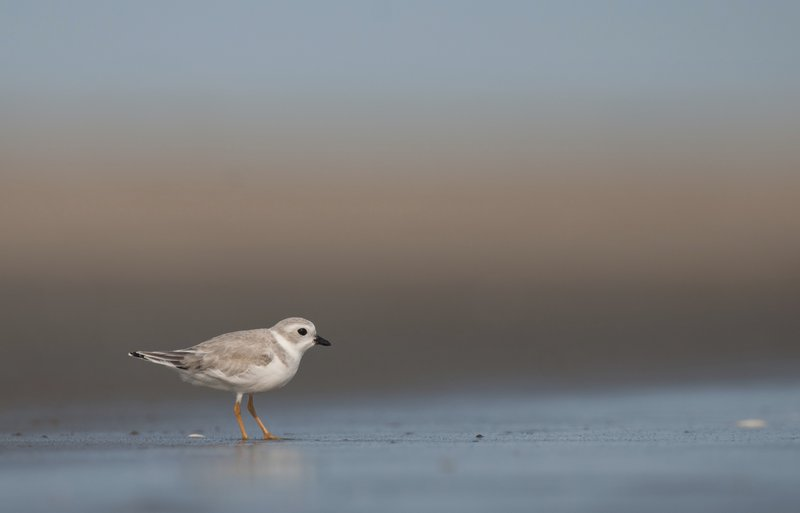 This 2012 photo provided by Audubon shows a Piping Plover on the coast of Maine. (Walker Golder/Augubon via AP)