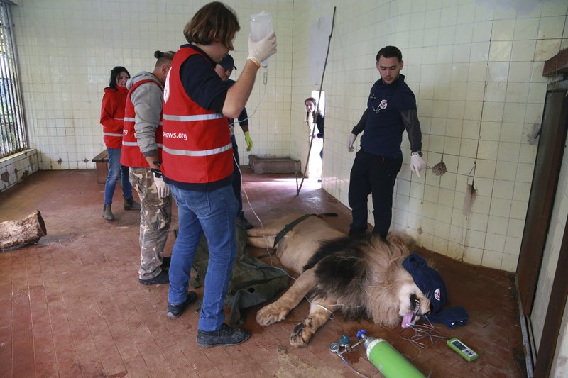 A team from the international animal welfare group Four Paws, stands above Lenci, a sedated lion, at Tirana Zoo, Albania on Tuesday, May 7, 2019. (AP Photo/Hektor Pustina)