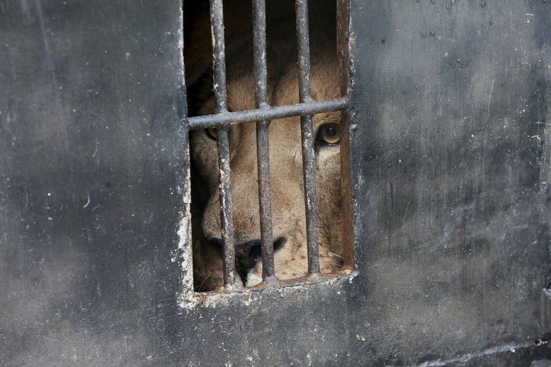 A lion looks out of a cage at Tirana zoo, Albania, on Tuesday, May 7, 2019. (AP Photo/Hektor Pustina)