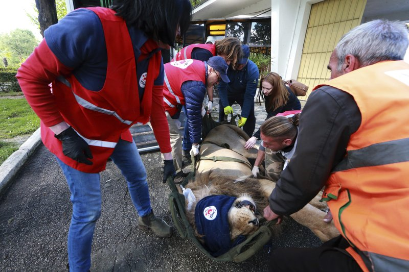 The team from International animal welfare group Four Paws carry Bobby, a sedated lion at Tirana Zoo, Albania, on Tuesday, May 7, 2019. (AP Photo/Hektor Pustina)