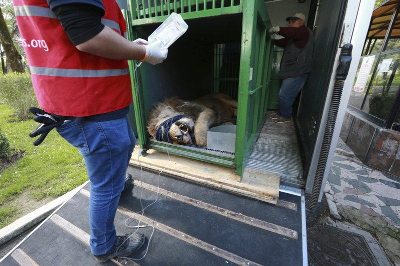 International animal welfare group Four Paws place Bobby, a sedated lion at Tirana Zoo, Albania, into a transfer cage on Tuesday, May 7, 2019. (AP Photo/Hektor Pustina)