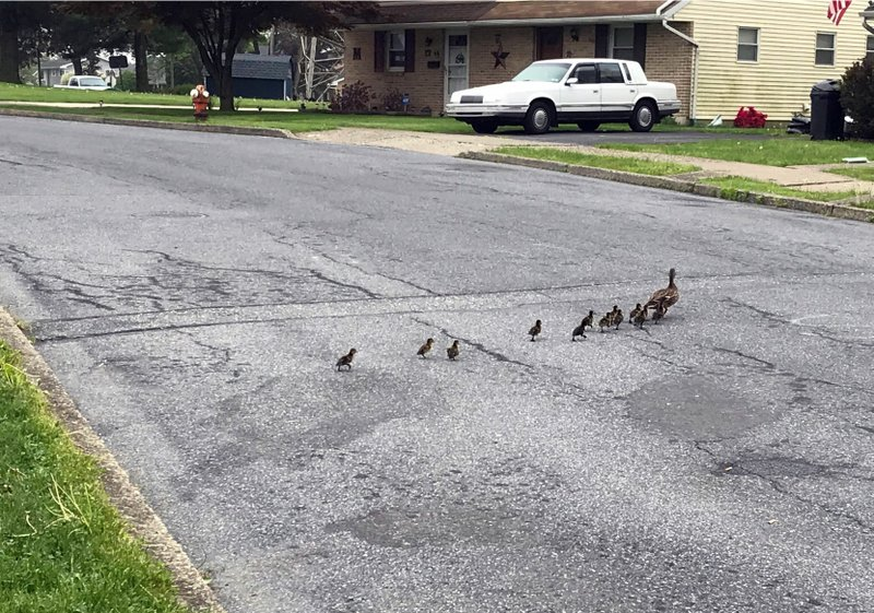 Ducklings cross the street after Catasauqua firefighters after pulled them from a storm drain along Edward Lane, Tuesday, May 7, 2019, in Catasauqua, Pa. (Kayla Dwyer/The Morning Call via AP)