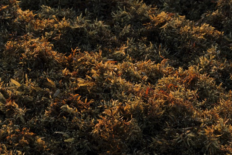 Sargassum seaweed floats off the beach in Playa del Carmen, Mexico, Wednesday, May 8, 2019. While concepts about what to do with collected sargassum are springing up, some propose using it as an aggregate additive for bricks, but its usefulness as a fertilizer or animal feed is limited by the chemicals it contains, like salt, iodine and arsenic. (AP Photo/Victor Ruiz )
