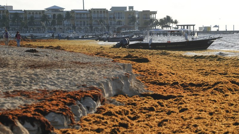 Sargassum seaweed covers the beach in Playa del Carmen, Mexico, Wednesday, May 8, 2019. Strangely, for the moment, even after what looks to be the start of another bad sargassum year, local officials say there has yet to be any noticeable drop-off in tourism bookings. (AP Photo/Victor Ruiz)