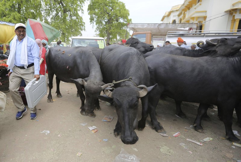 An election officer carries his his assigned electronic voting machine and walks past a herd of buffaloes before proceeding towards his allotted polling station on the eve of polling in Prayagraj, India, Saturday, May 11, 2019. (AP Photo/Rajesh Kumar Singh)