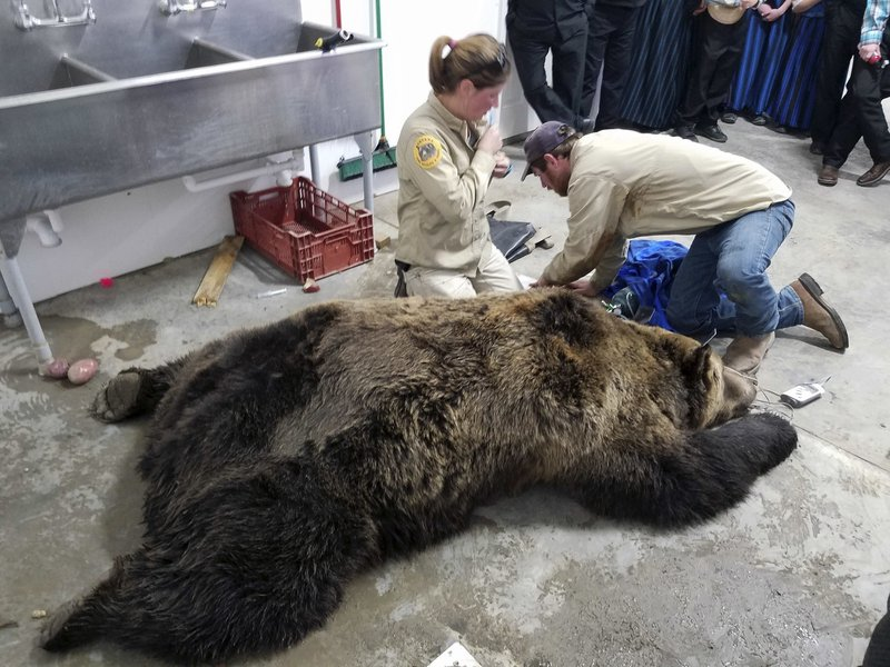 FILE -This Wednesday, Oct. 17, 2018 file photo, provided by Montana Fish, Wildlife and Parks, shows employees Wesley Sarmento and Sarah Zielke with a tranquilized 900-pound male grizzly bear in Valier, Mont. (Montana Fish, Wildlife and Parks via AP,File)