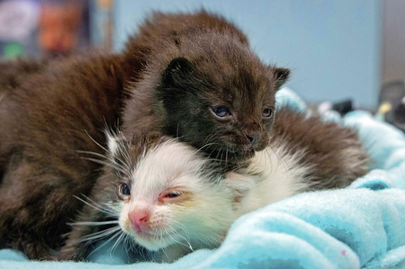 This May, 2019 photo from the San Diego Humane Society shows two five kittens that had that stowed away on a 400-mile trip to San Diego being cared for at the organization's San Diego office. (San Diego Humane Society via AP)